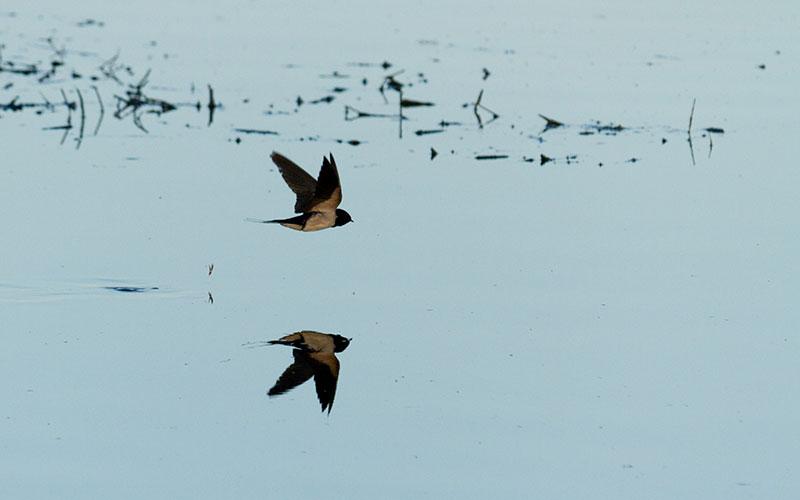 Andorinha-das-chaminés