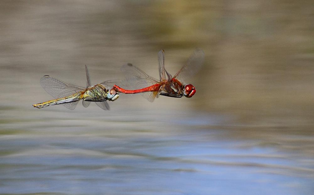 libélula-de-nervuras-vermelhas © Albano Soares