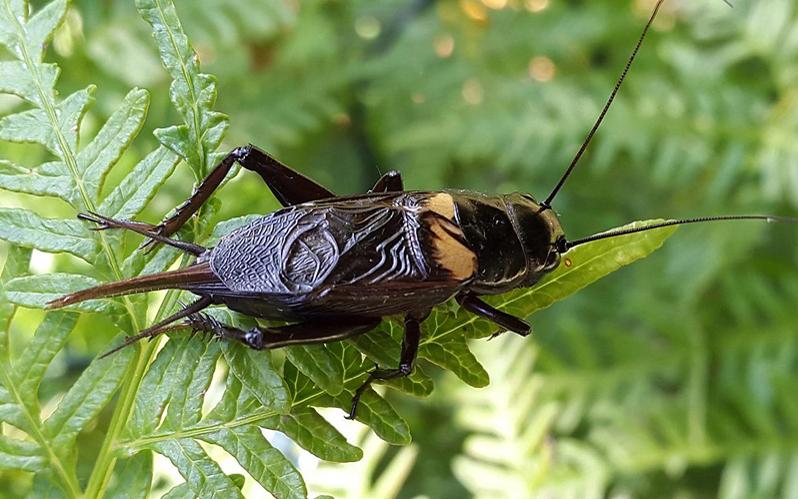 Grilo-bimaculado © Paul Venter -WikiCommons